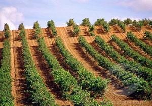 Vineyards in Rueda, Valladolid province, Castile Leon, Spain