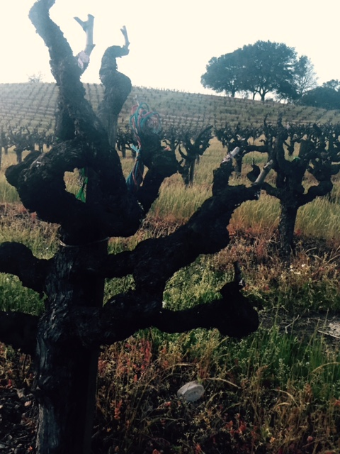 Sip Sonoma: Pedroncelli Winery